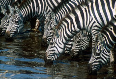 Het drinkwater van Zebras Stock Foto