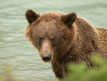 Bruin Alaska draagt close-up royalty-vrije stock fotografie
