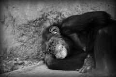 Het droevige chimpansee rusten Royalty-vrije Stock Afbeeldingen