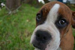 Het droevige gezicht van de bokserhond Royalty-vrije Stock Foto's