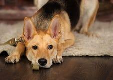 Het droevige hond liggen Royalty-vrije Stock Afbeelding