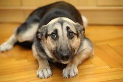 Het droevige hond liggen Stock Afbeeldingen