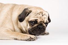 Het droevige kijken pug Royalty-vrije Stock Fotografie