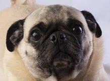 Het droevige Kijken Pug Close-up Royalty-vrije Stock Foto's