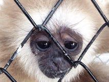 Het droevige onder ogen zien van Gibbon Stock Fotografie