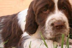 Het droevige puppy Royalty-vrije Stock Afbeeldingen