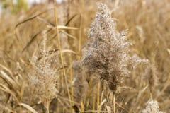 Het droge beige gras, korenaren, sluit omhoog, herfst natuurlijke achtergrond stock afbeeldingen