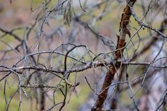 het droge bos van de pijnboomboom stock afbeelding