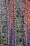 het droge bos van de pijnboomboom stock afbeeldingen