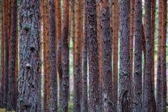 het droge bos van de pijnboomboom stock fotografie