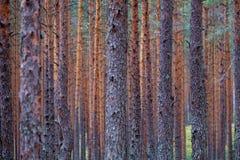 het droge bos van de pijnboomboom royalty-vrije stock afbeeldingen