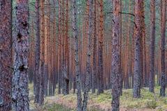 het droge bos van de pijnboomboom stock foto