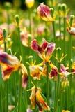 Het droge Gebied van de Tulp Stock Afbeeldingen