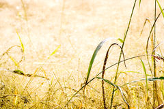 Het droge Gebied van het Gras Stock Fotografie