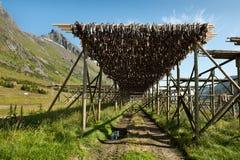 Het drogen van de stokvis in Lofoten Royalty-vrije Stock Afbeelding