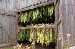 Het Drogen van de Tabak van de schaduw in Schuur Royalty-vrije Stock Foto