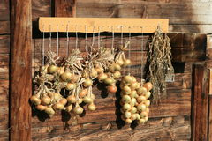 Het drogen van uien in de zon Royalty-vrije Stock Foto