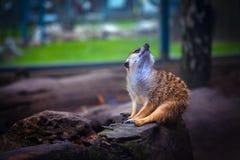 Het dromen meerkat royalty-vrije stock afbeelding