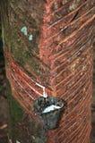 Het druipende latex van de rubberboom royalty-vrije stock foto