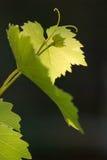 Het druivenblad Royalty-vrije Stock Afbeelding