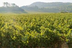 Het druivenlandbouwbedrijf van Napa-Vallei Royalty-vrije Stock Foto's