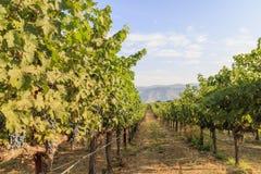 Het druivenlandbouwbedrijf van Napa-Vallei Stock Fotografie
