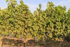 Het druivenlandbouwbedrijf van Napa-Vallei Stock Foto