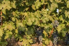 Het druivenlandbouwbedrijf van Napa-Vallei Stock Afbeelding