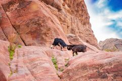 Het duel van de berggeit in Petra bergen stock foto's