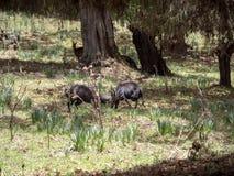 Het duel van twee mannelijke Menelik Bushbuck, Tragelaphus-scriptus menelik, verpakt Nationaal Park, Ethiopië in balen stock afbeelding