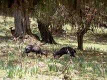 Het duel van twee mannelijke Menelik Bushbuck, Tragelaphus-scriptus menelik, verpakt Nationaal Park, Ethiopië in balen royalty-vrije stock afbeelding