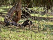 Het duel van twee mannelijke Menelik Bushbuck, Tragelaphus-scriptus menelik, verpakt Nationaal Park, Ethiopië in balen royalty-vrije stock afbeeldingen