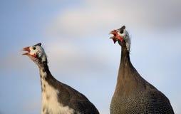 Het duet van Guinea royalty-vrije stock foto's