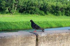 Het duifgrijs zit op de verschansing van de stad dichtbij de rivier stock fotografie