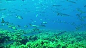 Het duiken de Maldiven - barracuda's stock footage