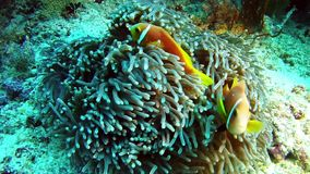 Het duiken de Maldiven - Clownfish stock video