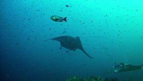 Het duiken de Maldiven - Manta Ray stock videobeelden
