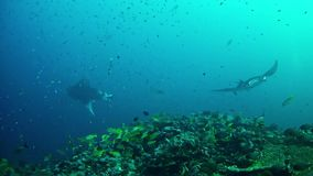 Het duiken de Maldiven - Manta Ray stock video