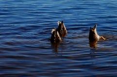 Het duiken Eenden Royalty-vrije Stock Foto's