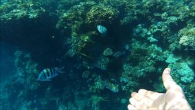 Het duiken in Egypte stock videobeelden