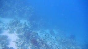 Het duiken Egypte rode overzeese vissen en koralen stock footage