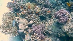 Het duiken Egypte rode overzeese vissen en koralen stock videobeelden