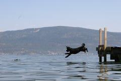 Het duiken Hond Stock Foto