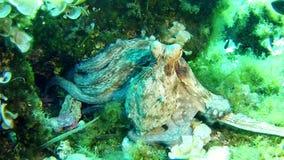 Het duiken in Mallorca Spanje onderwater - Octopus stock video