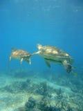 Het duiken met schildpadden Stock Afbeelding