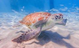 Het duiken met schildpaddencuracao meningen royalty-vrije stock foto