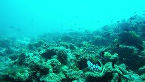 Het duiken met Schoonheidsclown Triggerfish stock footage