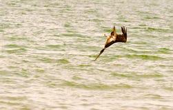 Het duiken pelikaan Stock Afbeeldingen