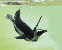 Het duiken pinguïn Royalty-vrije Stock Foto's