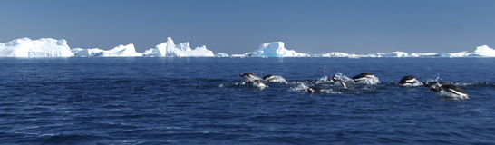 Het duiken pinguïnen Royalty-vrije Stock Foto's
